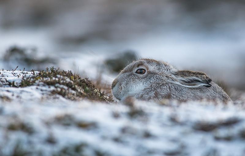 M13 - Mountain Hare Mush