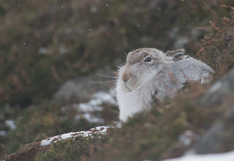 M14 - Mountain Hare During Light Snow