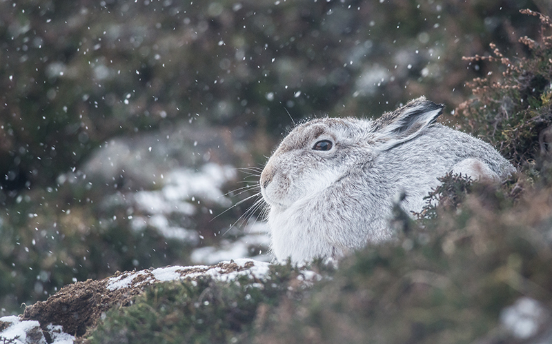 M15 - Mountain Hare During In A Snow Storm