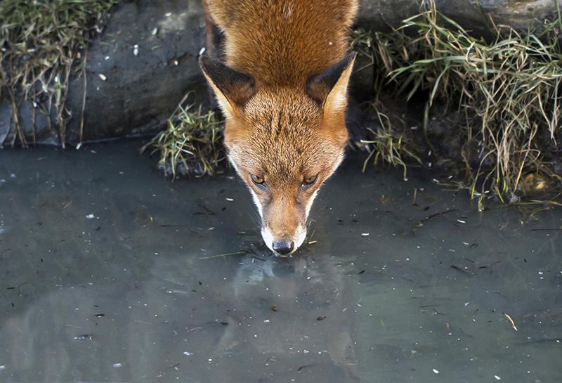 F2 - Reflective Fox