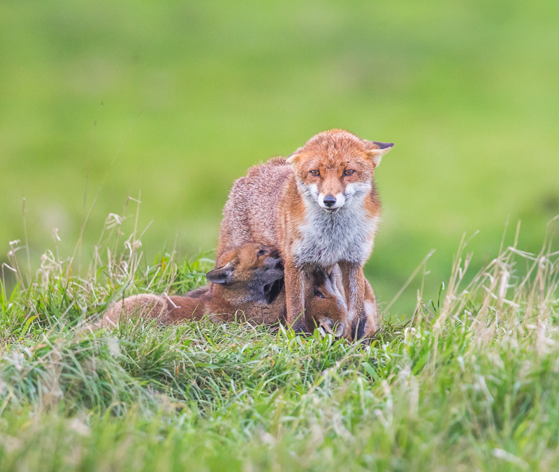 F6 - Cubs Feeding From Mum