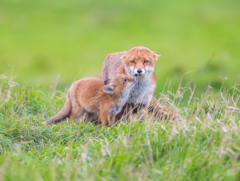 F7 - Fox Cub Being Submissive With Mum