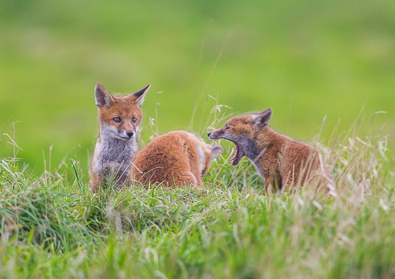 F8 - Three Fox Cubs