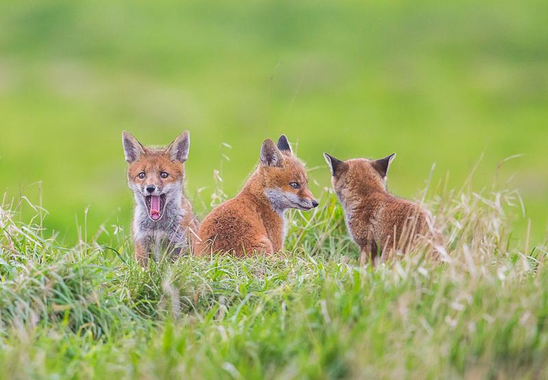 F9 - Three Fox Cubs