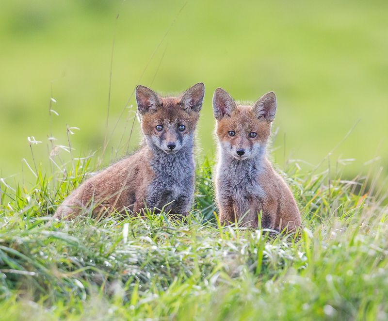 F10 - Two Fox Cubs Waiting For Mum Outside The Den