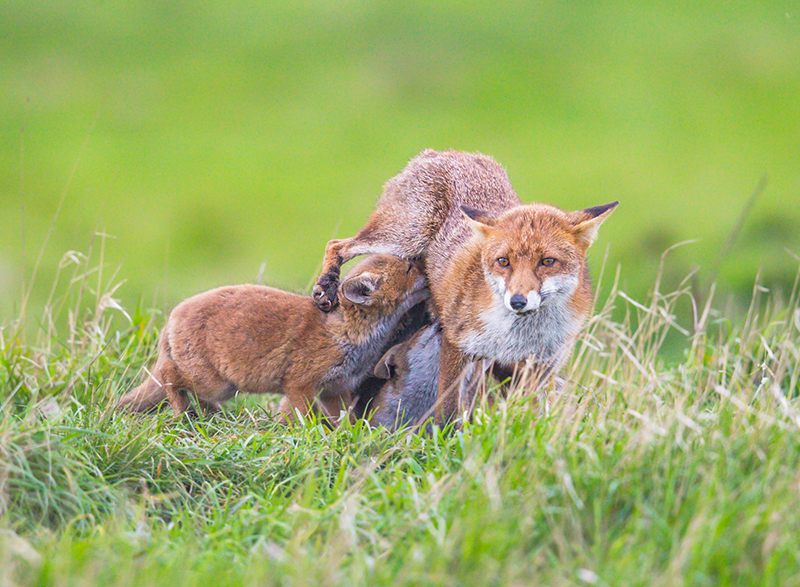 F11 - Fox Cubs Feeding From Mum