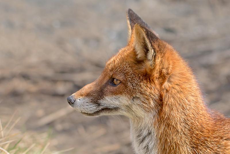 F15 - Fox Listening For Prey
