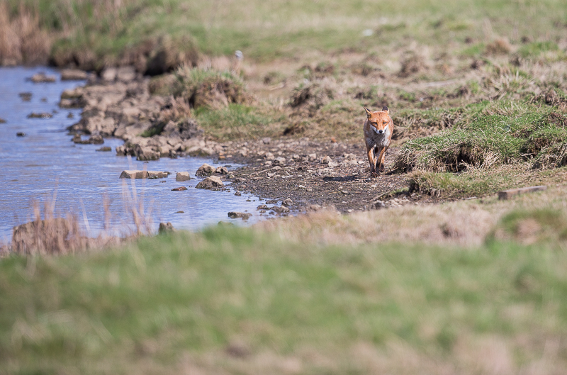 F16 - Wide-Angle Fox Shot Looking For Waders