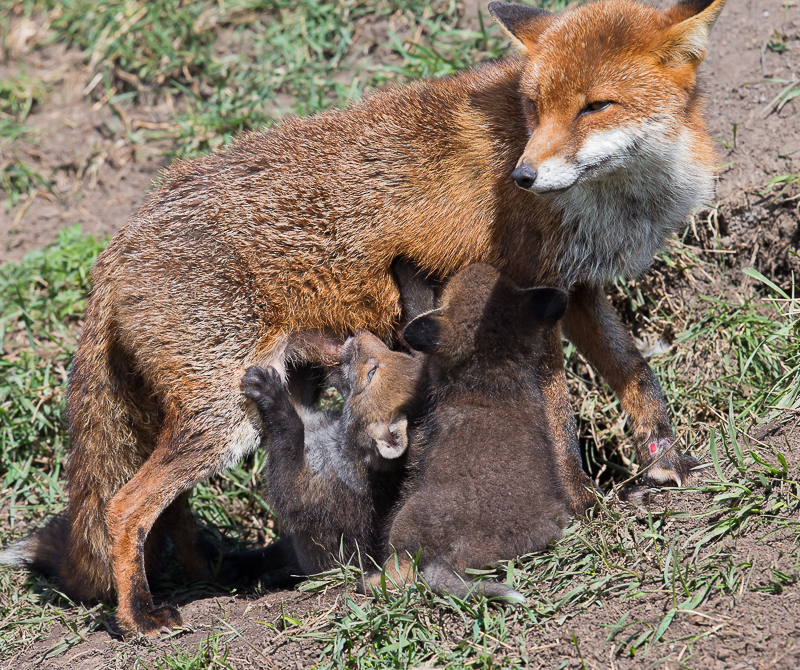 F18 - Cubs Suckling From Mum