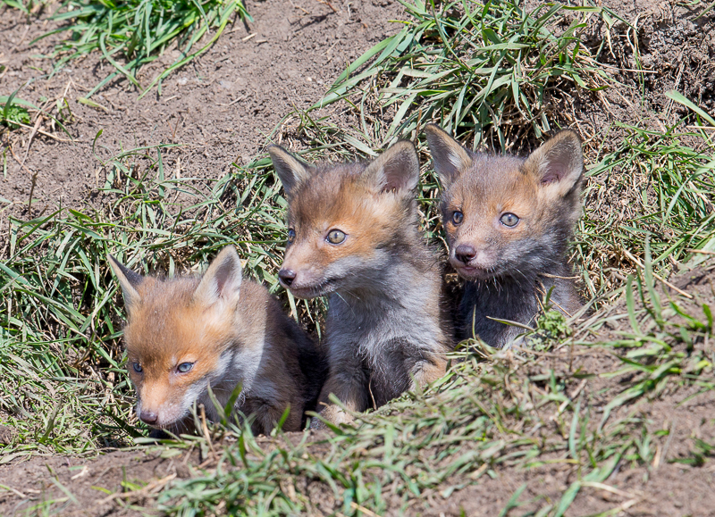 F20 - Three Fox Cubs Looking Out Of Their Den