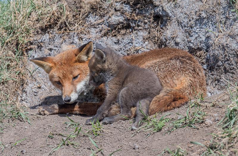 F22 - Cub Sitting On Mum's Knee?!
