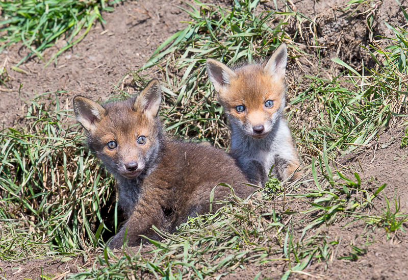 F21 - Two Of The Cubs At The Den Entrance