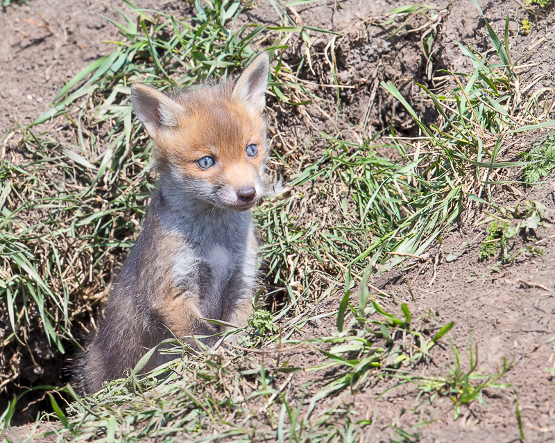F23 - Very Young Cub With Blue Eyes
