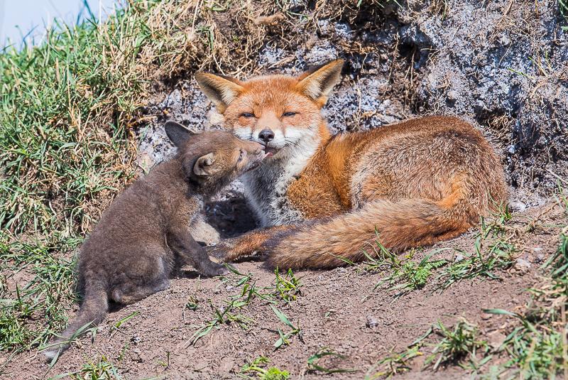 F25 - Fox Cub Kiss