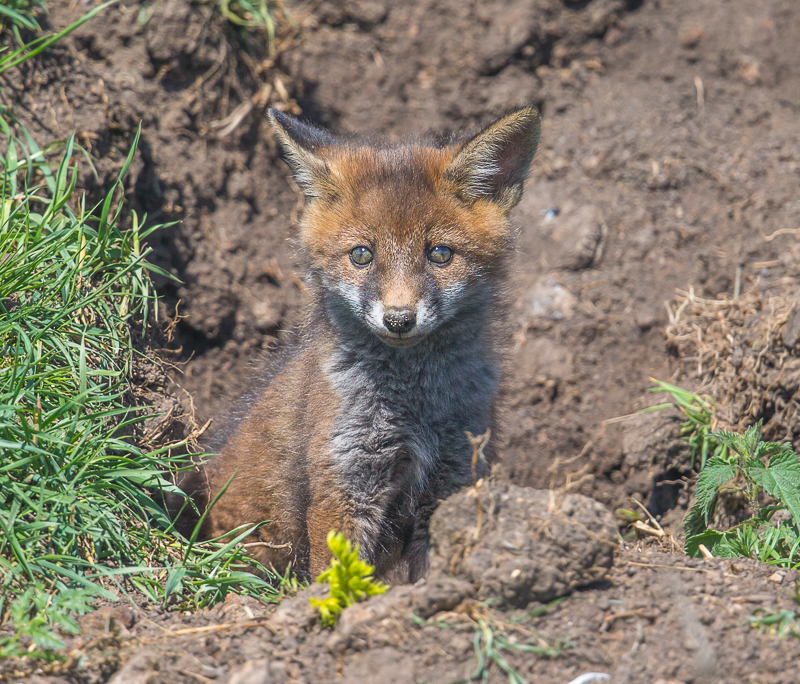 F28 - Fox Cub Sitting At The Den Entrance