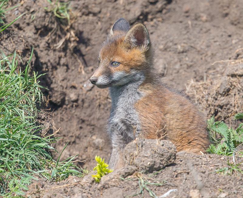 F29 - Fox Cub At The Den's Entrance