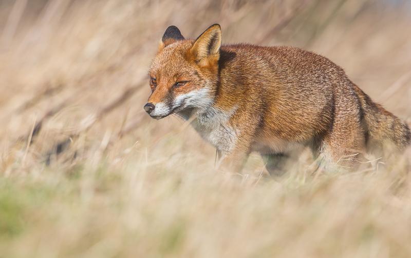 F1 - Fox Hunting For Prey