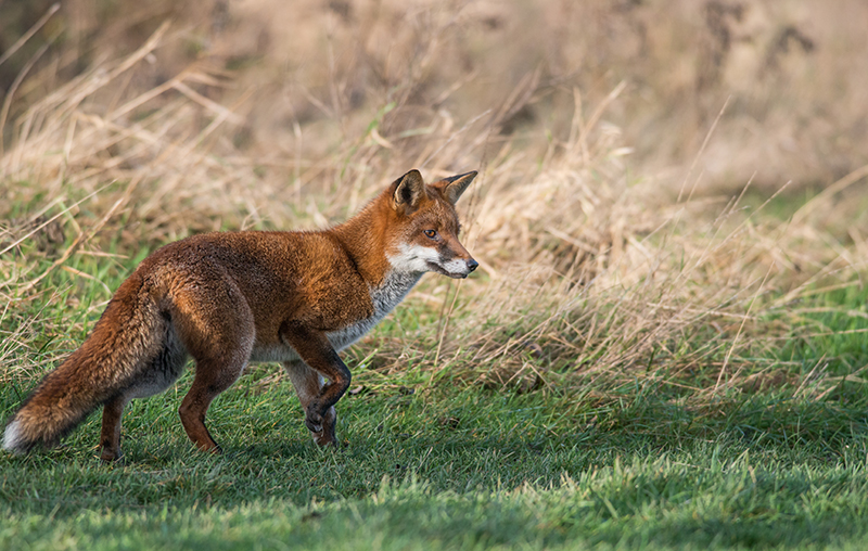 F30 - Fox Searching For Voles