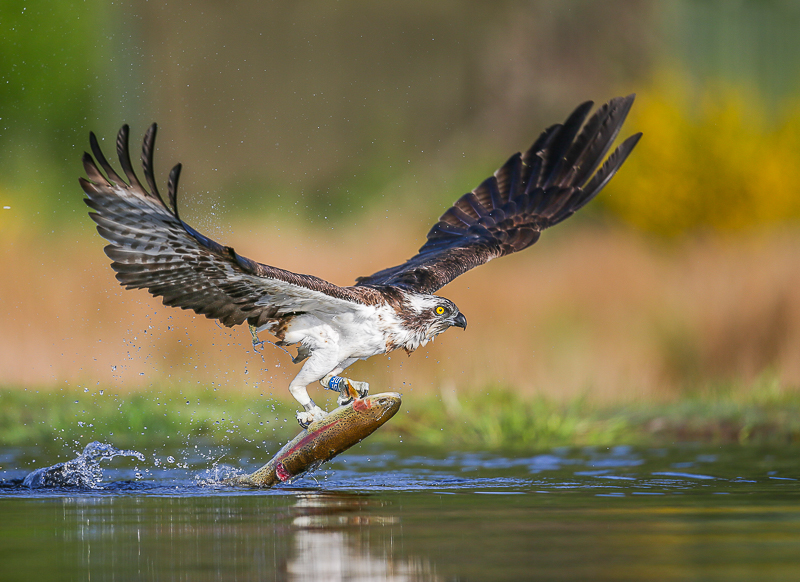 OS1 - Osprey With Trout In Early Morning Light