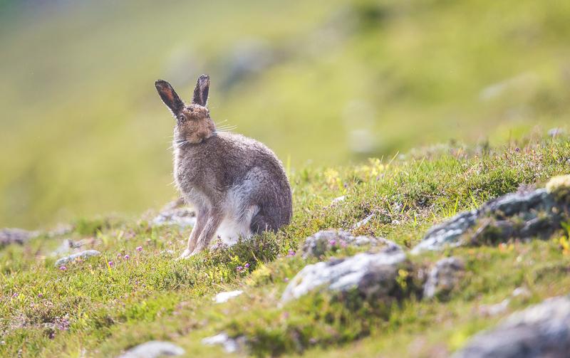 M21 - Summer Mountain Hare Backlit