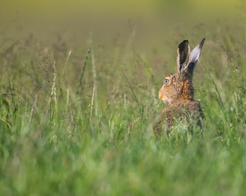 BH2 - Brown Hare Eating In Tall Grass