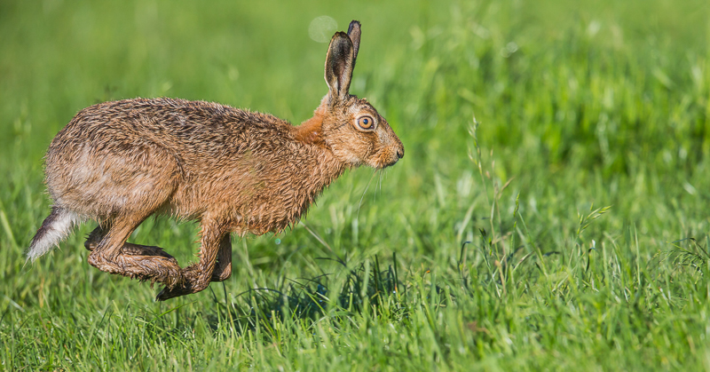 BH5 - Brown Hare Running