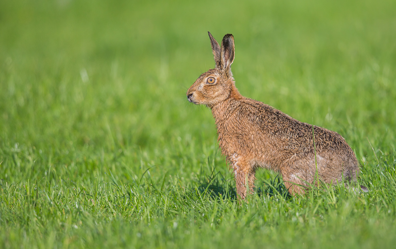 BH6 - Brown Hare Posing In Morning Light