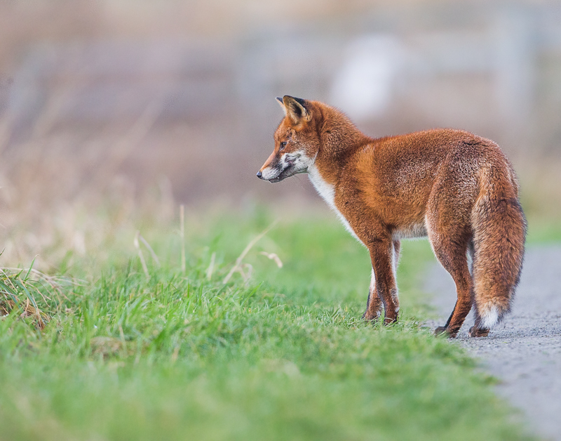 F5 - Fox Listening Out For Prey