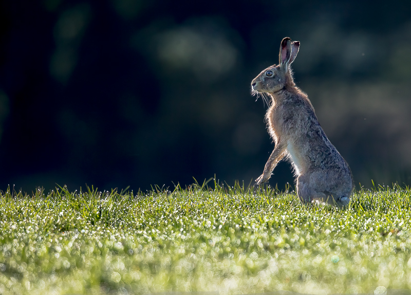 BH1 - Backlit Brown Hare In Morning Dew