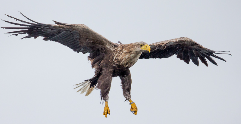WSE3 - White-Tailed Sea Eagle Coming To Fish