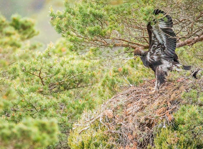 WSE6 - Juvenile Golden Eagle Stretching Its Wings