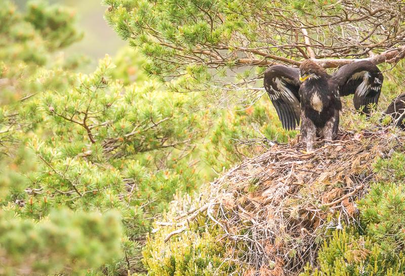 WSE7 - Young Golden Eagle In Scottish Highlands