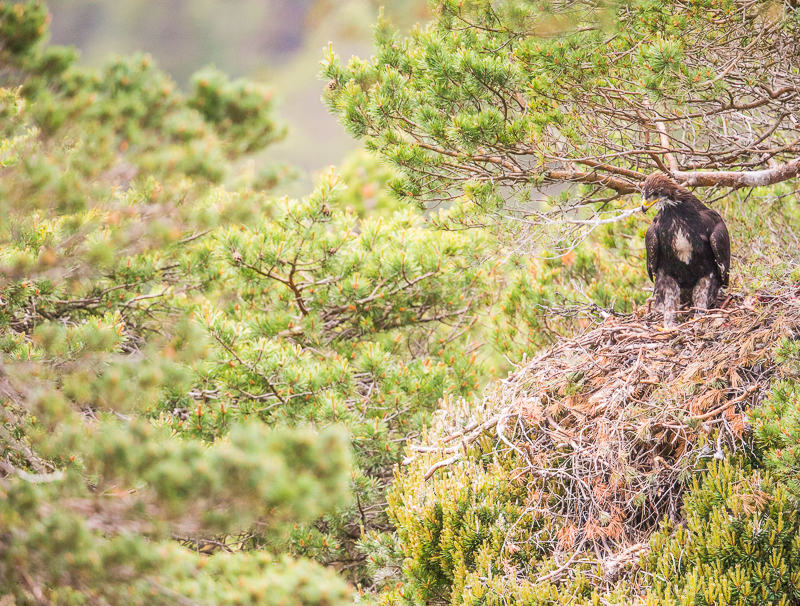 WSE9 - Juvenile Golden Eagle Looking Out Of Its Tree Top Nest