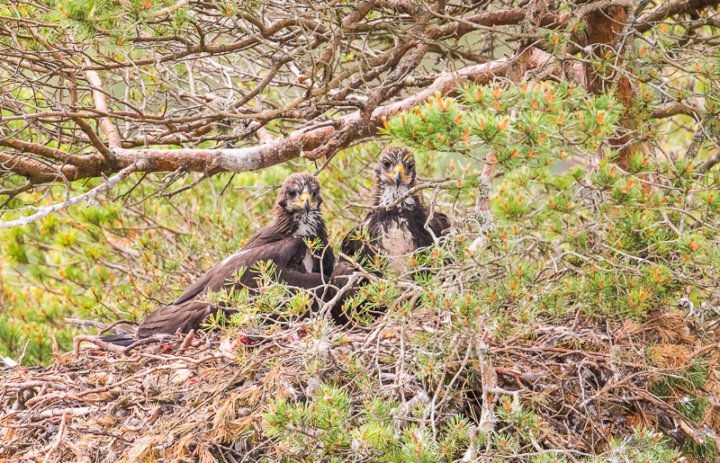WSE8 - Two Juvenile Golden Eagles On Look Out