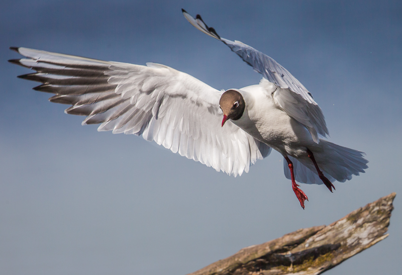 SB3 - Black-Headed Gull Coming In To Land