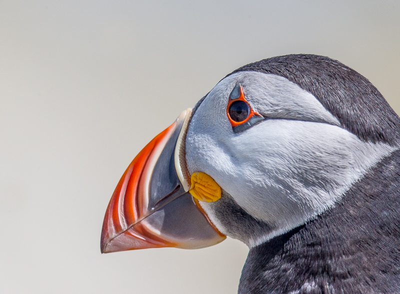 SB10 - Close-Up Puffin On Farne Islands