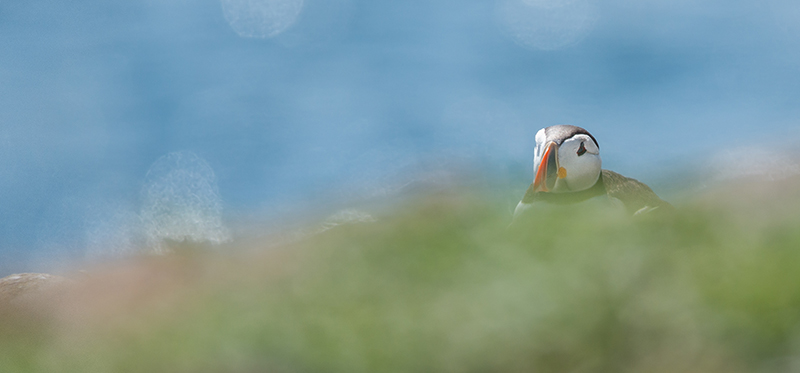 SB12 - Puffin In Mush On The Farne Islands