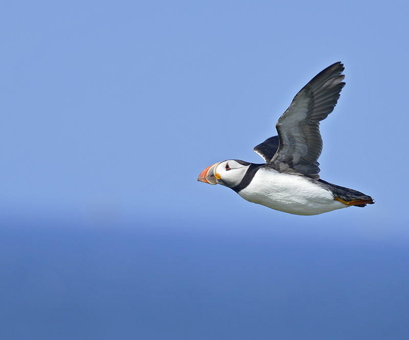 SB15 - Puffin In Flight Against Blue Sky