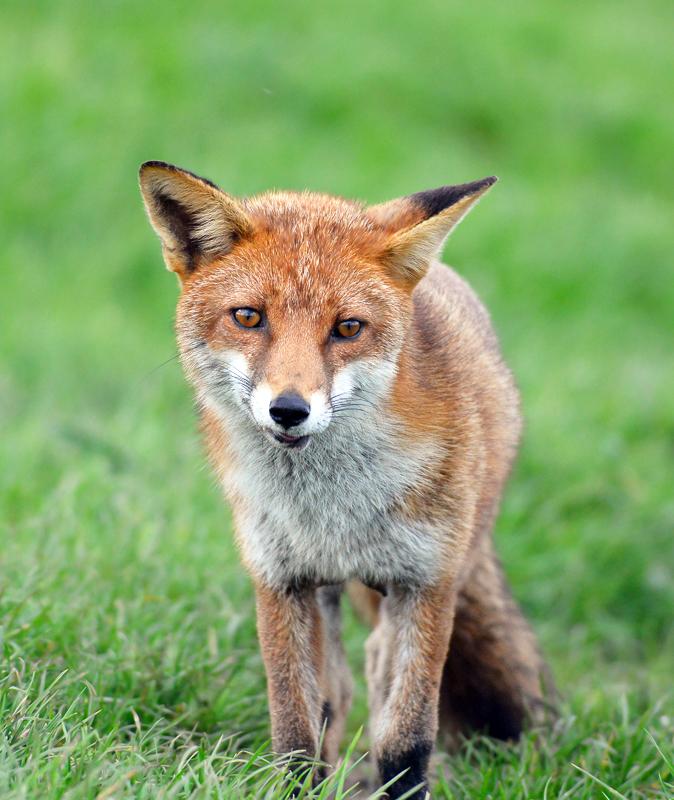 F31 - Close-Up Of A Wild Fox