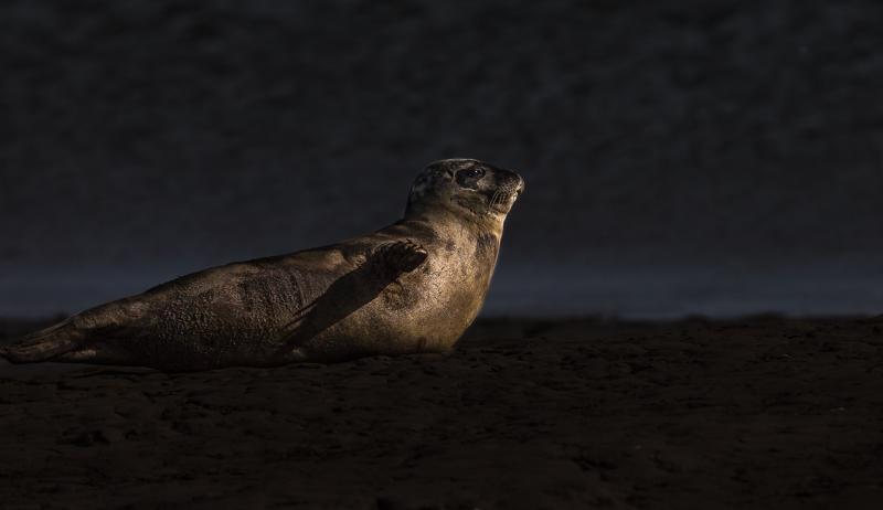 SE1 - Common Seal In Morning Light
