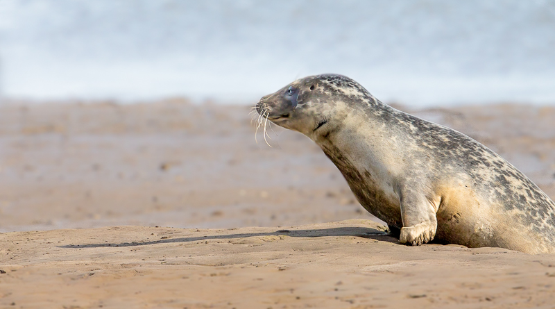 SE5 - Young Seal With Shadow In Morning Light