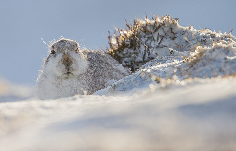 M1 - Backlit Mountain Hare
