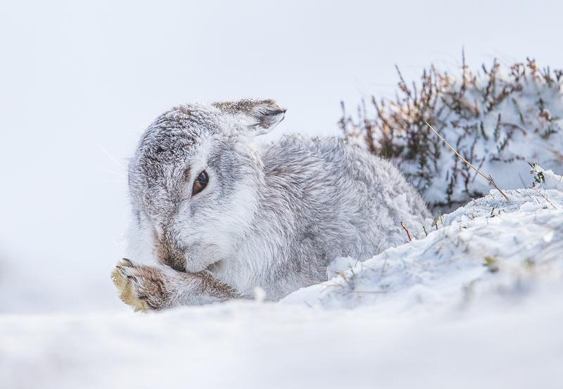 M4 - Mountain Hare Preening