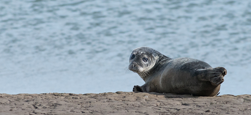 SE7 - Seal Pup On The Tees Esturary