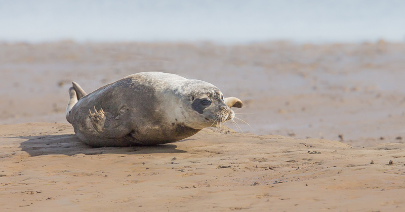 SE8 - Seal Pup Shuffling Over Sand