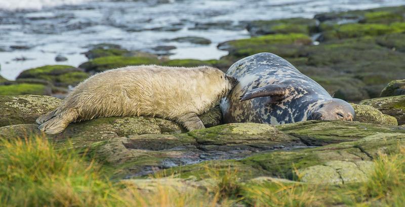 SE10 - Seal Pup Suckling From Mum