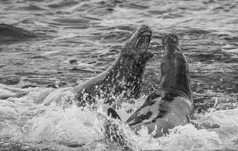 SE11 - Two Seal Bulls Fighting Over Territory