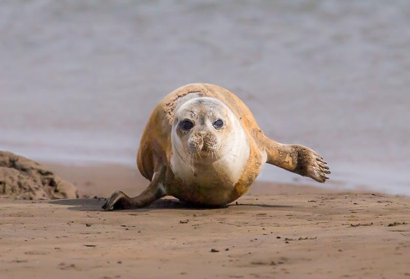 SE13 - Seal Pup Head-On