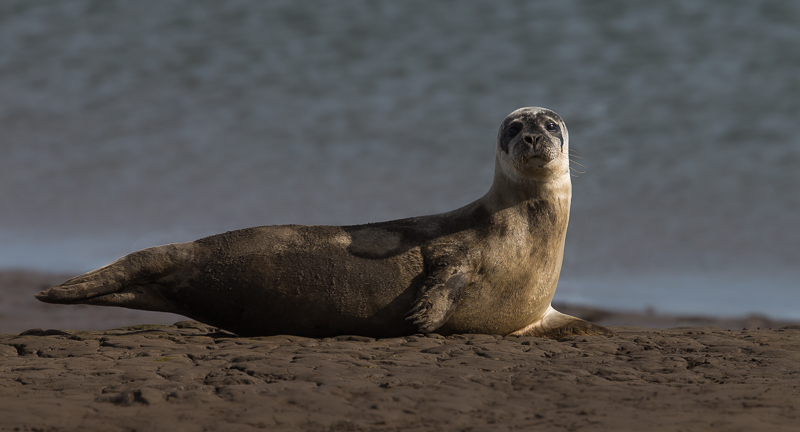 SE19 - Seal Posing In Warm Morning Light
