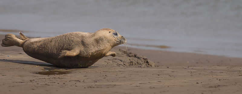 SE22 - Seal Pup Racing Across The Sand